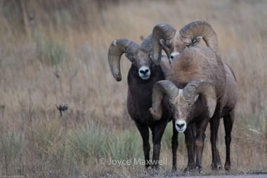 Curious trio of Rams