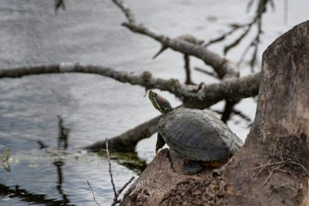 Red-Eared Slider Turtle - Brazos Bend State Park, Texas