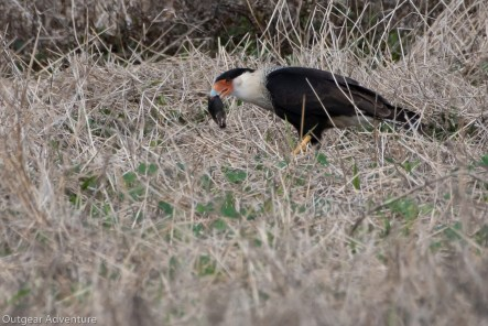 Crested Caracara has a meal at Brazos Bend State Park, Texas