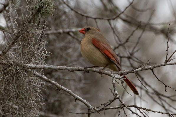 Northern Cardinal looking beautiful at Brazos Bend State Park, Texas