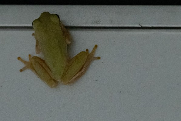 Tree Frog sneaks into the cracks on the RV