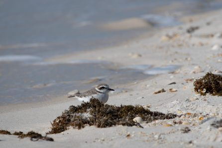 Snowy Plover relaxes in the seaweed