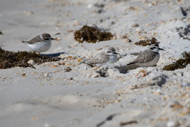 Family of Snowy Plovers relaxing in the seaweed