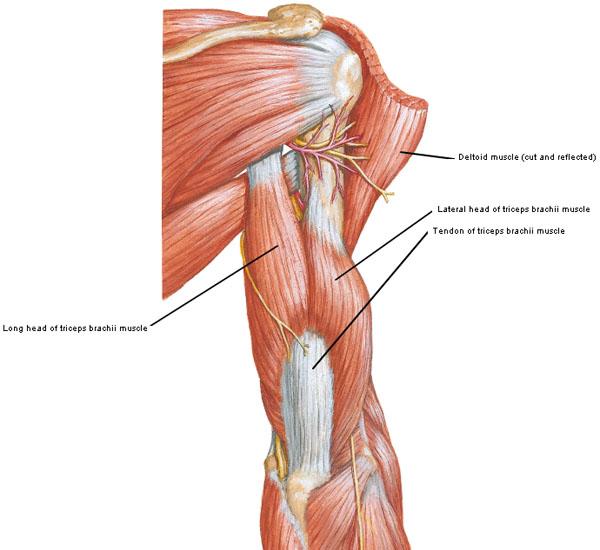 triceps brachii diagram spot light switch arms redux outlander anatomy figure0415a kls edited