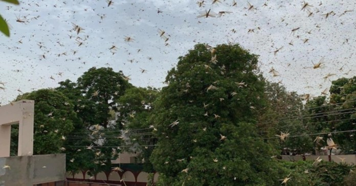Swarms of desert locusts attack Gurugram