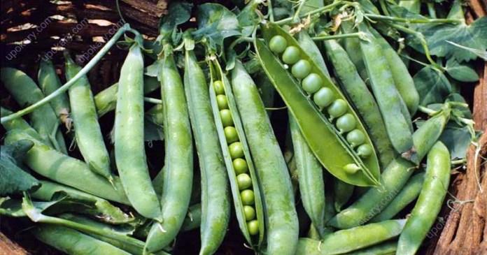 মটরশুঁটি- Eating peas too much in the winter Be careful, be aware of this!
