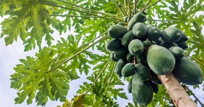 papaya tree diseases prevebtion