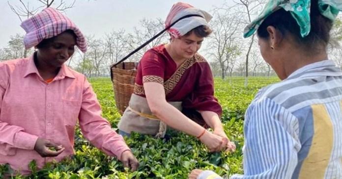 Priyanka Gandhi tries hand at plucking tea leaves in Assam during campaign