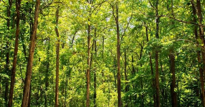 The country's largest man-made forest is developing in Chhattisgarh