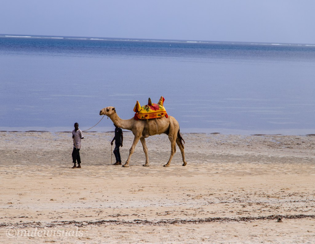 Experience One Kenyan Coastal Cities, Mombasa with this ultimate travel guide of what to do in 24 Hours. Camel Ride