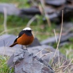 Guldenstadt's Redstart, Kazbegi, Georgia April 14