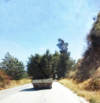 Olive trees in a van in the Peloponnese