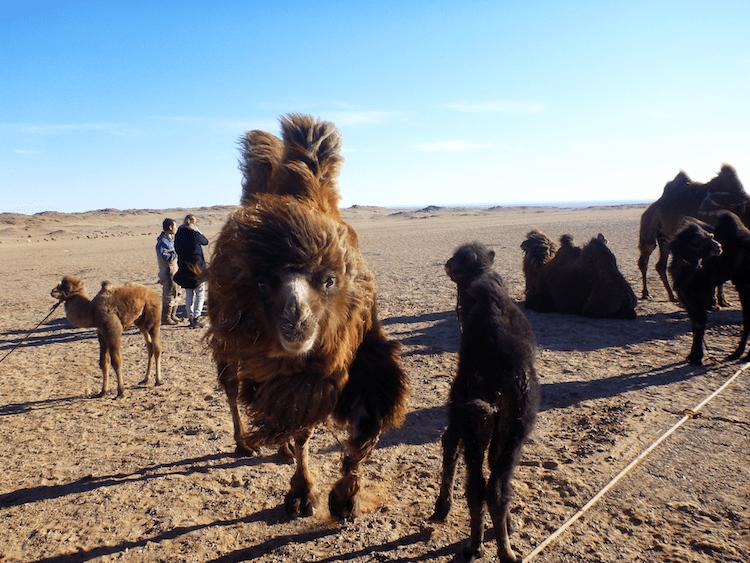 Camels Mongolia Gobi Desert