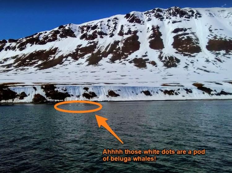 Pod of beluga whales Svalbard Norway Arctic trip to Barentsburg