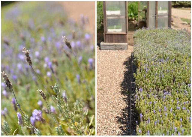 Lavender and Greenhouse at Mudbrick