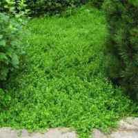 Herniaria Glabra Green Carpet Ground Cover Seeds - Rupturewort
