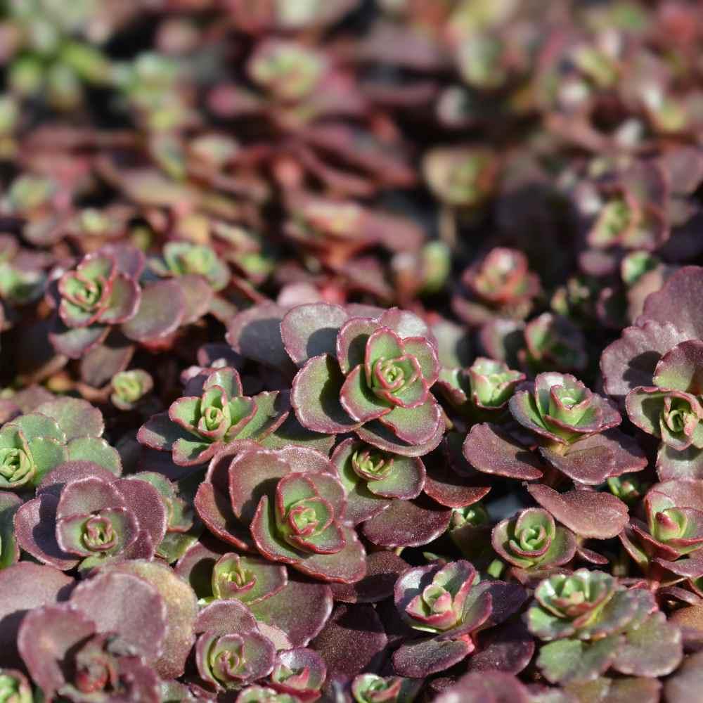 Flowering Kinds Plants