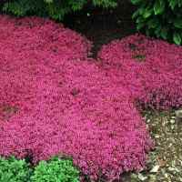 Creeping Thyme Seed - Thymus Serpyllum Magic Carpet Ground ...