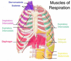 Pump up your breathing muscles