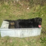 Black Labrador in water trough
