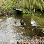 Lullingstone Country Park: Dog in river