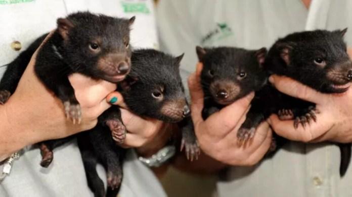 Tazmanya Canavarları için Avustralya'da yeni yaşam alanları