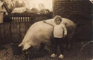 \Het Maaslandse varken