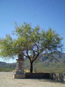 Alamos (Tree) - small