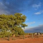 Lone Gum Tree