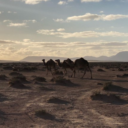 camels walking at hot spring camp 3:2020