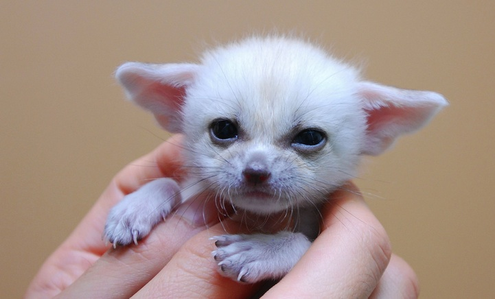 the incredibly cute fennec fox overload buzz