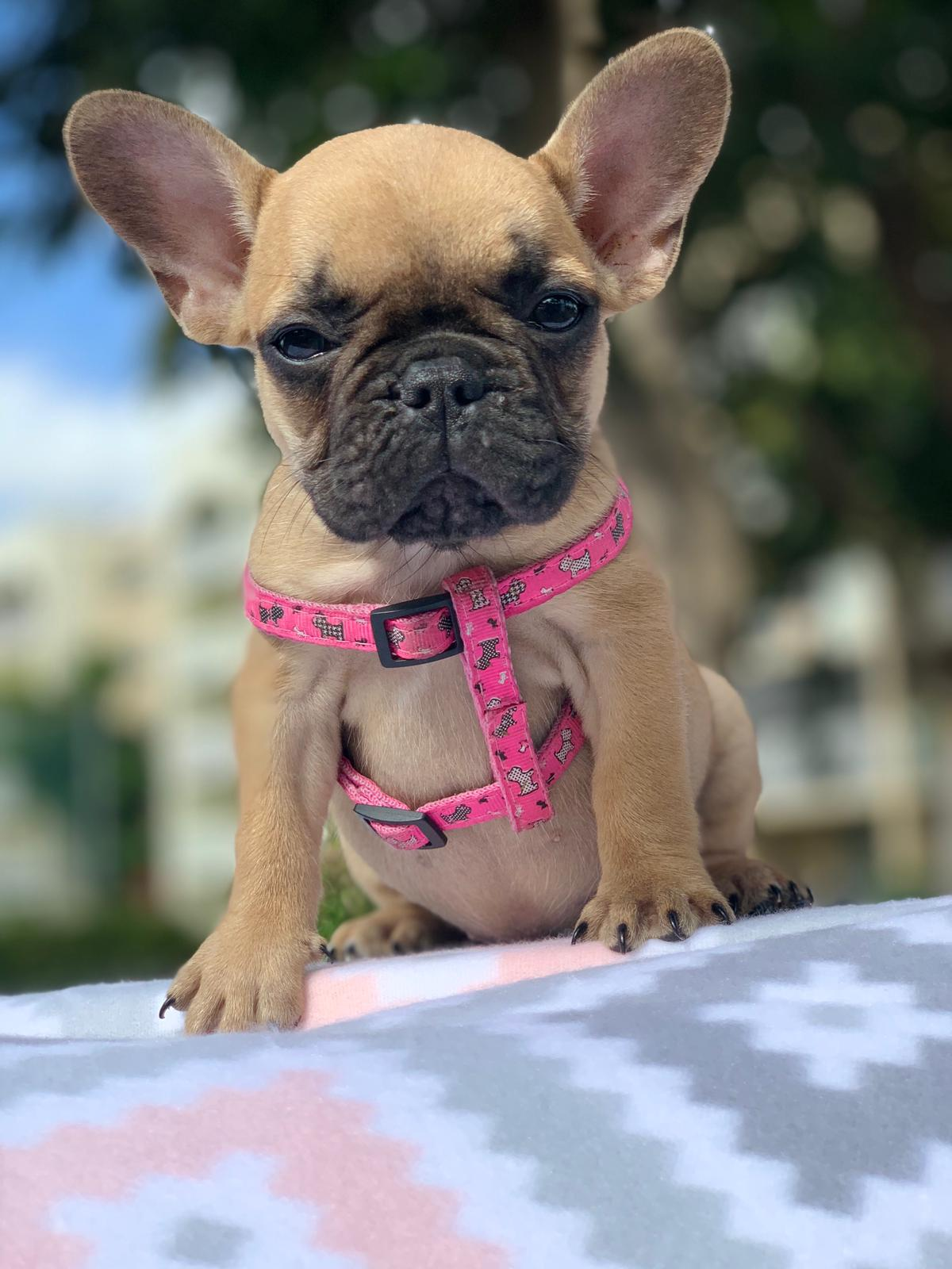Fawn Female 2 - Over The Top French Bulldogs