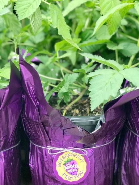 knotts-boysenberry-festival-boysenberry-plant