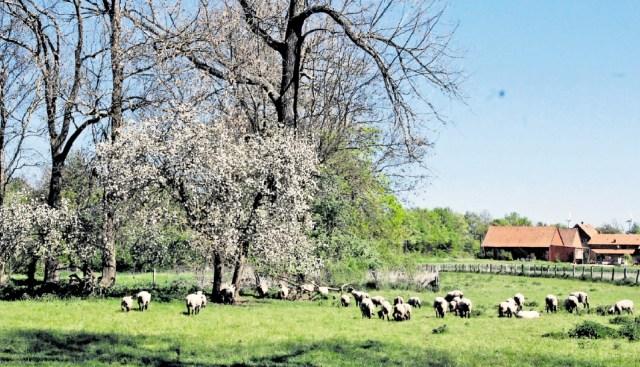 Einige der umgewandelten Wiesen im Bruchgrabengebiet werden wie früher als Schafweiden oder zur Heuernte genutzt. Foto: Wiechens