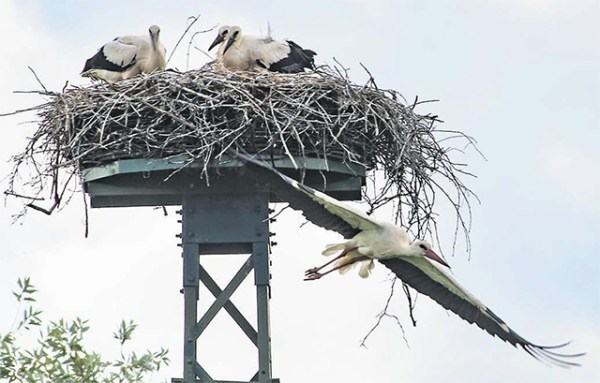 Im Brüggener Horst warten die drei Jungstörche ständig auf Nahrung. Ihre Eltern sind pausenlos im Einsatz, um den hungrigen Nachwuchs sattzukriegen.