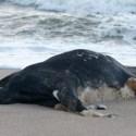 Vacas mortas são encontradas em praias da Suécia 6