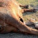 Mistério na Argentina: Sete vacas são mutiladas e moradores suspeitam de Chupacabras 4