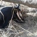 Mistério continua na Argentina: gado é novamente mutilado 3