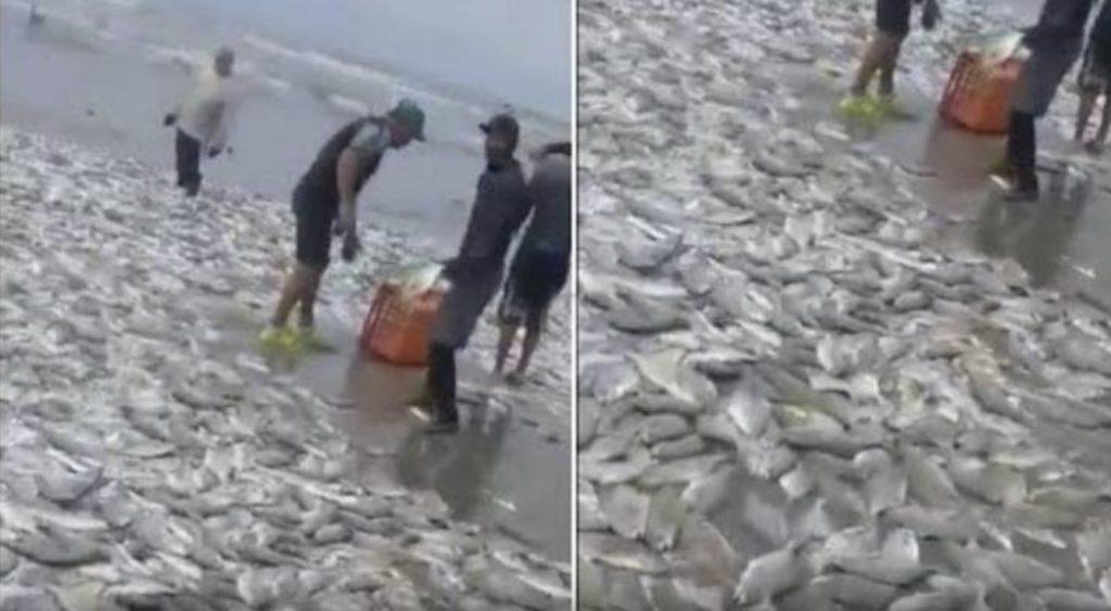 Milhares de peixes vivos são varridos para a praia em Acapulco, México