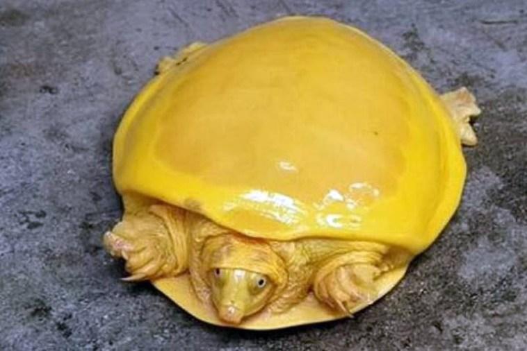 Presságio: Tartarugas amarelas começaram a aparecer na Terra. Isso é bom?