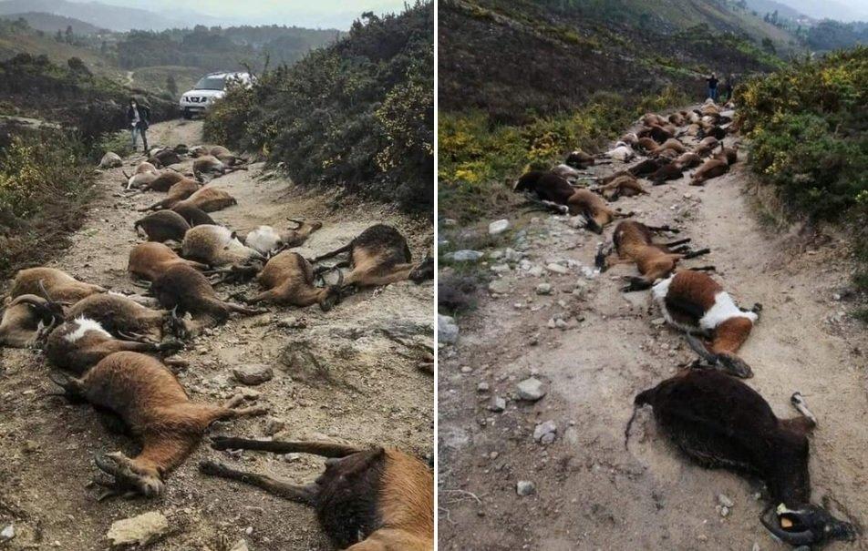 Um estranho raio mata 68 cabras em Portugal