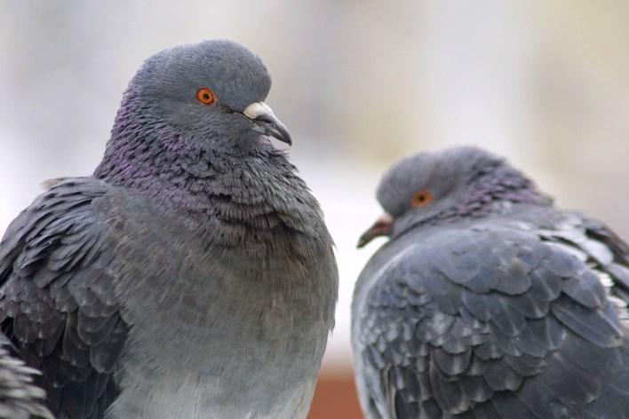 Mistério: milhares de pombos desaparecem na Inglaterra