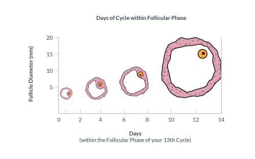 small resolution of follicle size