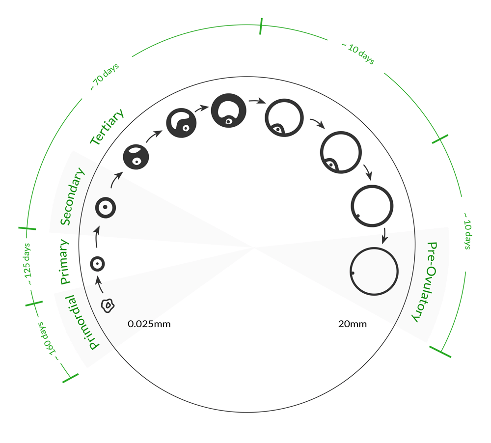 medium resolution of follicle timeline
