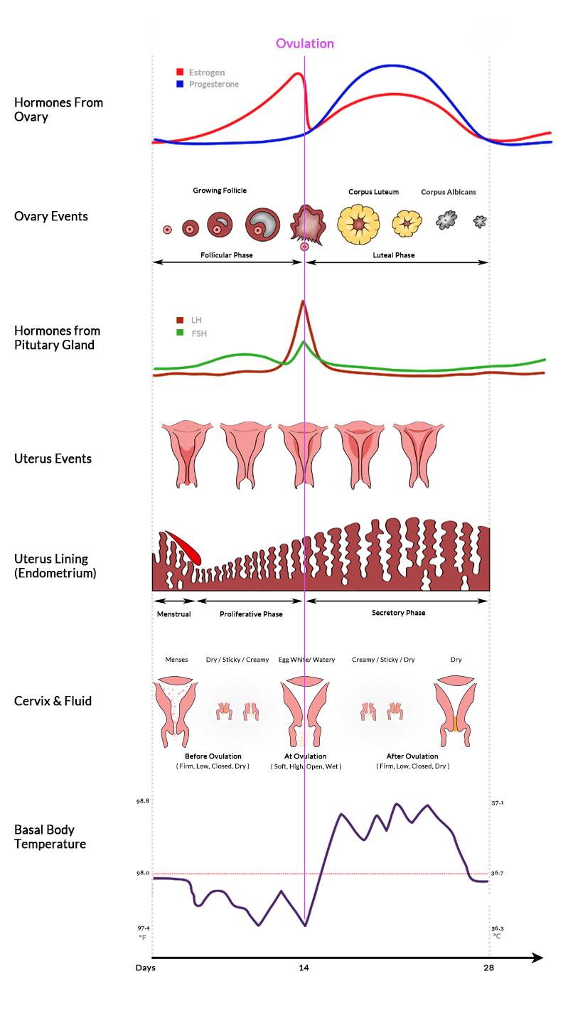 hight resolution of menstrual cycle hormones ovary uterus chart