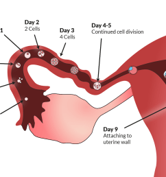 ovulation to implantation [ 1600 x 1000 Pixel ]