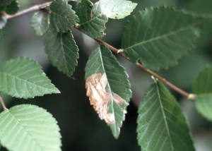 Brown spots on elm leaves