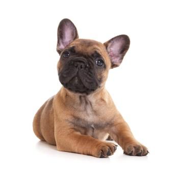 Franse Bull Dog Pup