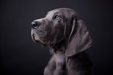 Mylo Duitse Dog