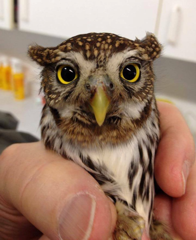 injured pygmy owl by